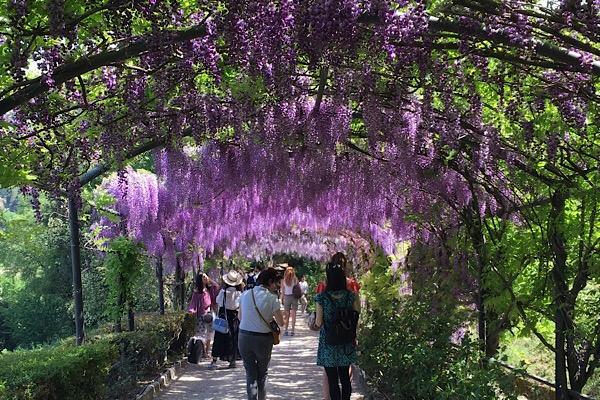 バルディーニ庭園の藤の花