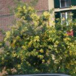 ミモザの木